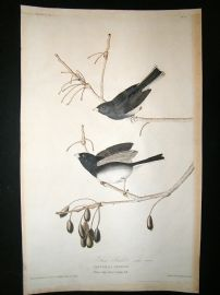 Audubon Havell: C1830 Snow Bird. Folio 1st Edition. Hand Col